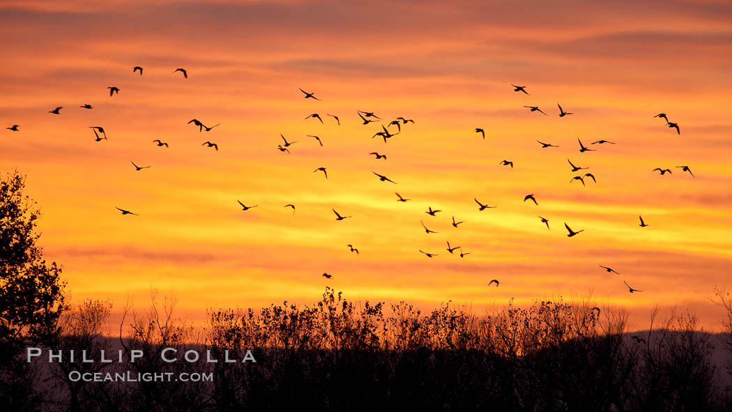 Snow geese in flight at sunrise.  Bosque del Apache NWR is winter home to many thousands of snow geese which are often see in vast flocks in the sky. Bosque Del Apache, Socorro, New Mexico, USA, Chen caerulescens, natural history stock photograph, photo id 26219