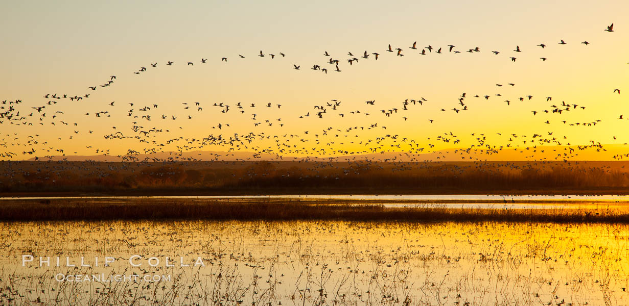 Snow geese in flight at sunrise.  Bosque del Apache NWR is winter home to many thousands of snow geese which are often see in vast flocks in the sky. Bosque Del Apache, Socorro, New Mexico, USA, Chen caerulescens, natural history stock photograph, photo id 26223