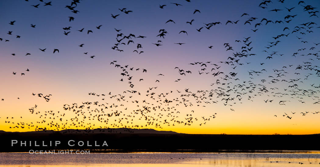 Snow geese in flight at sunrise.  Bosque del Apache NWR is winter home to many thousands of snow geese which are often see in vast flocks in the sky. Bosque Del Apache, Socorro, New Mexico, USA, Chen caerulescens, natural history stock photograph, photo id 26201