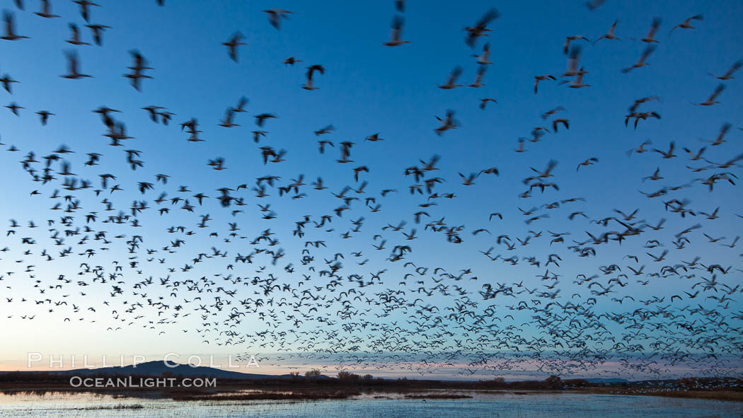 Snow geese in flight at sunrise.  Bosque del Apache NWR is winter home to many thousands of snow geese which are often see in vast flocks in the sky. Bosque Del Apache, Socorro, New Mexico, USA, Chen caerulescens, natural history stock photograph, photo id 26237