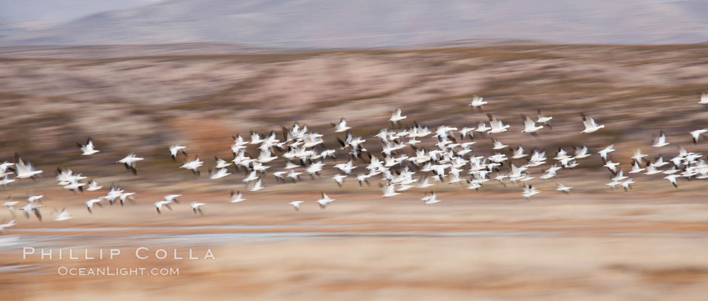 Snow geese in flight, wings are blurred in long time exposure as they are flying. Bosque Del Apache, Socorro, New Mexico, USA, Chen caerulescens, natural history stock photograph, photo id 26218