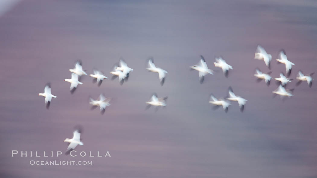 Snow geese in flight, wings are blurred in long time exposure as they are flying. Bosque Del Apache, Socorro, New Mexico, USA, Chen caerulescens, natural history stock photograph, photo id 26250
