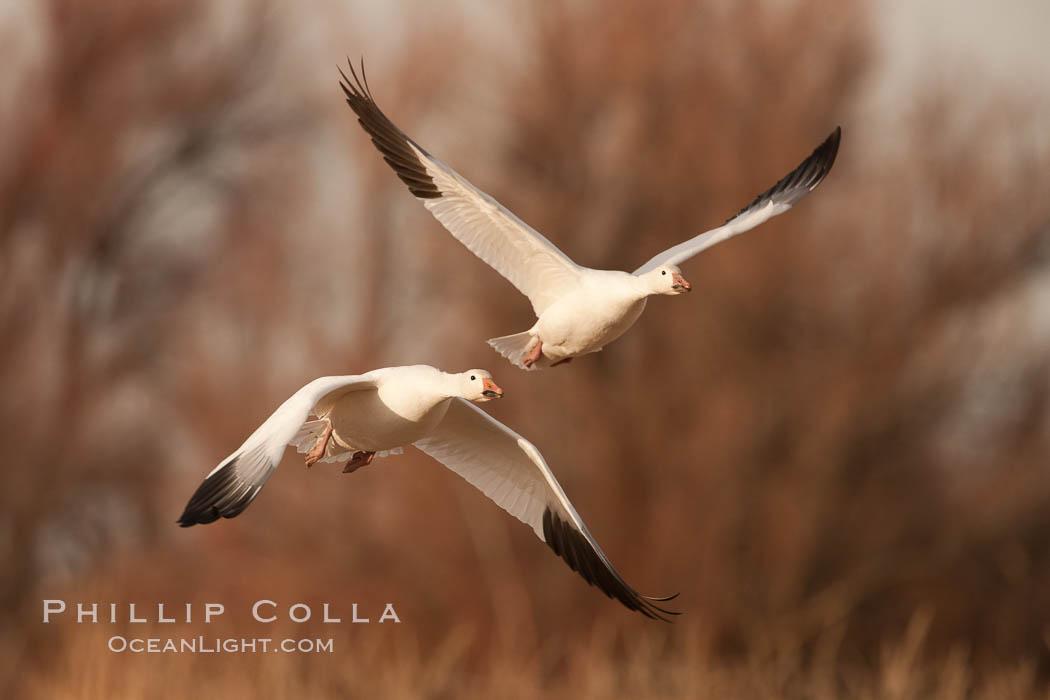 Snow geese in flight. Bosque Del Apache, Socorro, New Mexico, USA, Chen caerulescens, natural history stock photograph, photo id 26196