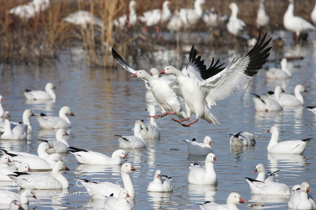 Snow geese landing on water. Bosque del Apache National Wildlife Refuge, New Mexico, USA, Chen caerulescens, natural history stock photograph, photo id 19990