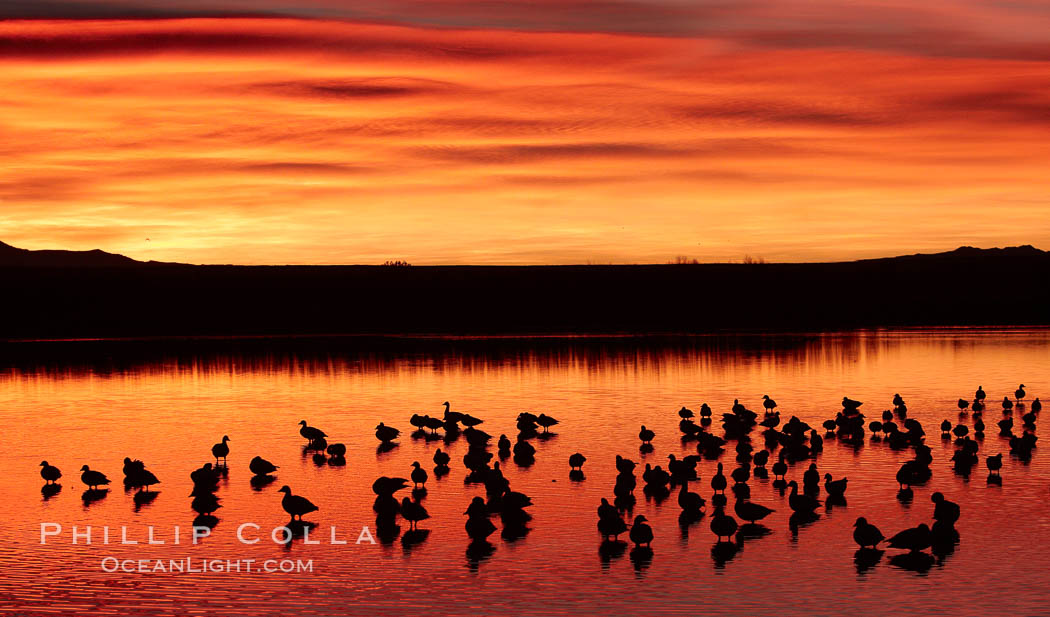 Snow geese rest on a still pond in rich orange and yellow sunrise light.  These geese have spent their night's rest on the main empoundment and will leave around sunrise to feed in nearby corn fields. Bosque del Apache National Wildlife Refuge, Socorro, New Mexico, USA, Chen caerulescens, natural history stock photograph, photo id 21802
