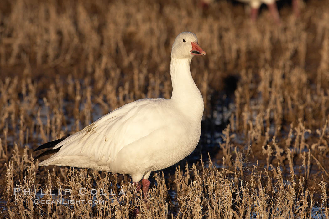 Snow goose standing in marsh grass. Bosque del Apache National Wildlife Refuge, Socorro, New Mexico, USA, Chen caerulescens, natural history stock photograph, photo id 21838