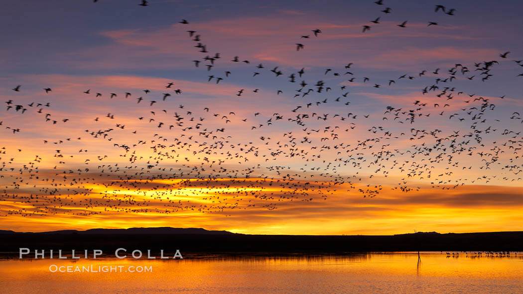 "Snow geese at dawn.  Snow geese often ""blast off"" just before or after dawn, leaving the ponds where they rest for the night to forage elsewhere during the day. Bosque del Apache National Wildlife Refuge, Socorro, New Mexico, USA, Chen caerulescens, natural history stock photograph, photo id 21850"