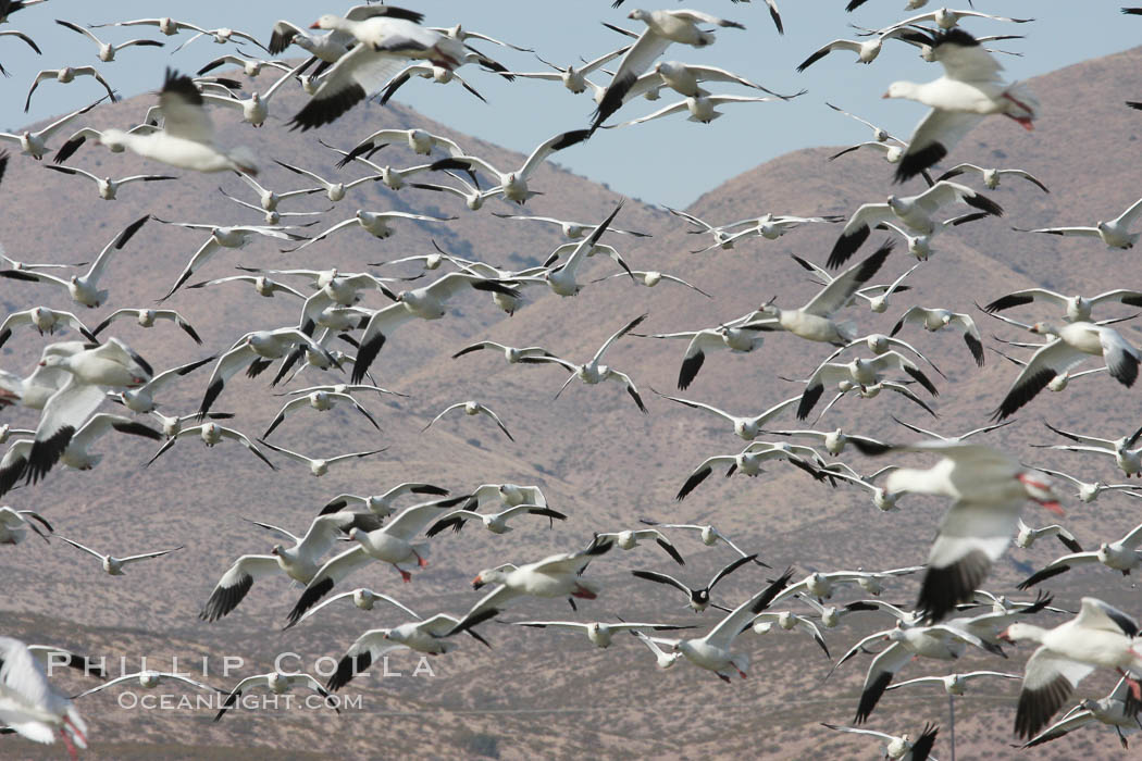 Image 19992, Snow geese gather in massive flocks over water, taking off and landing in synchrony. Bosque del Apache National Wildlife Refuge, New Mexico, USA, Chen caerulescens, Harrison Stubbs, all rights reserved worldwide. Keywords: anatidae, animal, bird, bosque del apache, bosque del apache national wildlife refuge, bosque del apache nwr, chen caerulescens, geese, goose, national wildlife refuges, new mexico, snow geese, snow goose, socorro, usa.