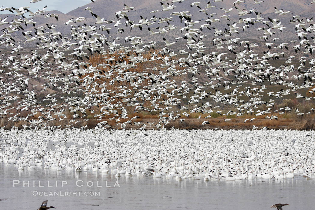 Snow geese gather in massive flocks over water, taking off and landing in synchrony. Bosque del Apache National Wildlife Refuge, New Mexico, USA, Chen caerulescens, natural history stock photograph, photo id 20008