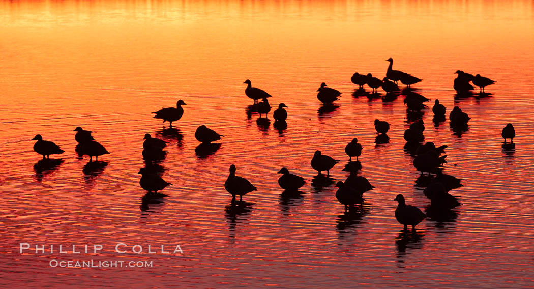 Snow geese rest on a still pond in rich orange and yellow sunrise light.  These geese have spent their night's rest on the main empoundment and will leave around sunrise to feed in nearby corn fields. Bosque del Apache National Wildlife Refuge, Socorro, New Mexico, USA, Chen caerulescens, natural history stock photograph, photo id 21820