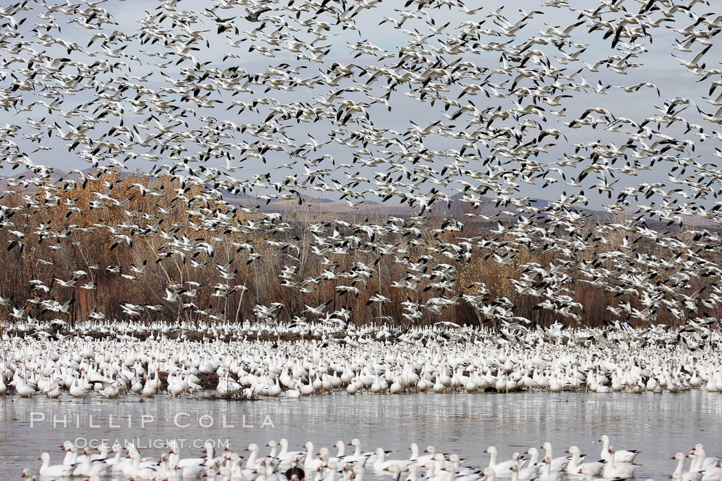 Snow geese gather in massive flocks over water, taking off and landing in synchrony. Bosque del Apache National Wildlife Refuge, New Mexico, USA, Chen caerulescens, natural history stock photograph, photo id 19991
