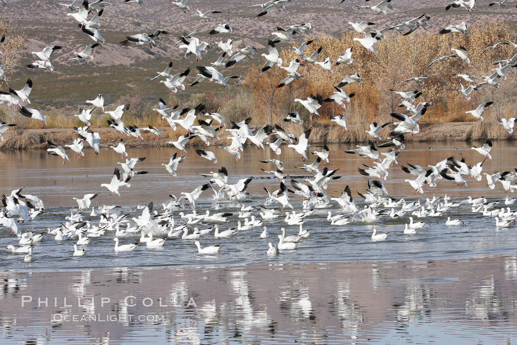 Snow geese gather in massive flocks over water, taking off and landing in synchrony. Bosque del Apache National Wildlife Refuge, New Mexico, USA, Chen caerulescens, natural history stock photograph, photo id 19993