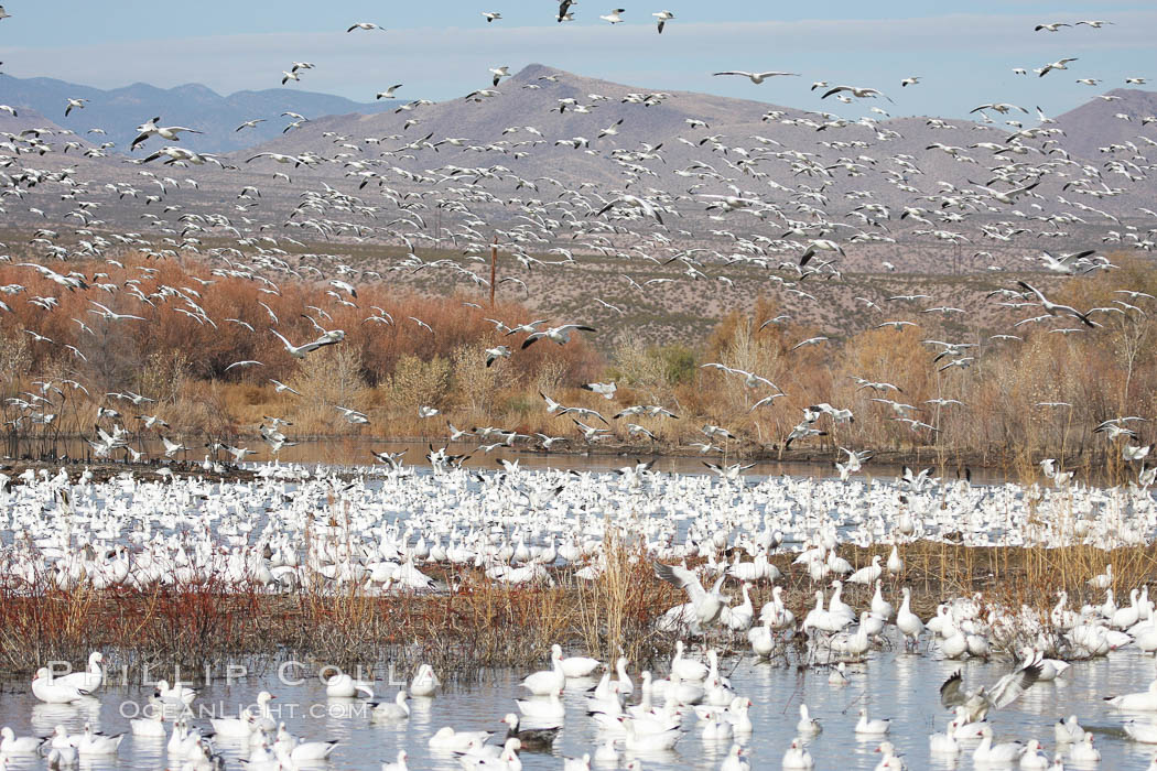 Image 20001, Snow geese gather in massive flocks over water, taking off and landing in synchrony. Bosque del Apache National Wildlife Refuge, New Mexico, USA, Chen caerulescens, Harrison Stubbs, all rights reserved worldwide. Keywords: anatidae, animal, bird, bosque del apache, bosque del apache national wildlife refuge, bosque del apache nwr, chen caerulescens, geese, goose, national wildlife refuges, new mexico, snow geese, snow goose, socorro, usa.