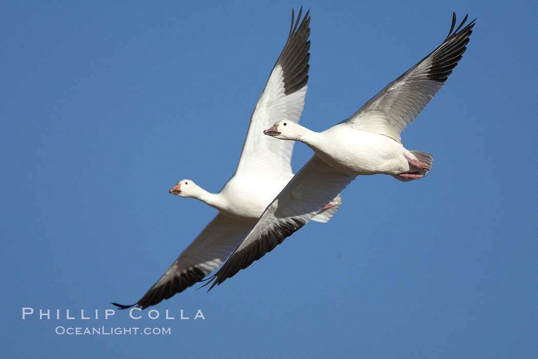 Snow geese in flight. Bosque del Apache National Wildlife Refuge, Socorro, New Mexico, USA, Chen caerulescens, natural history stock photograph, photo id 21858
