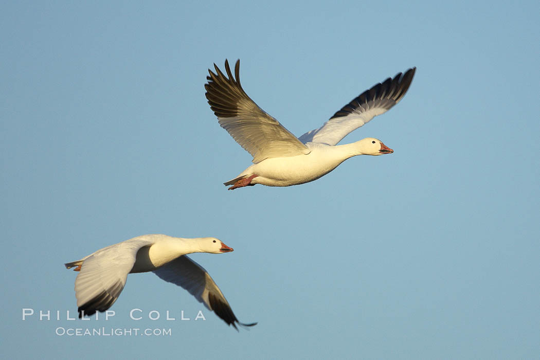 Snow geese in flight. Bosque del Apache National Wildlife Refuge, Socorro, New Mexico, USA, Chen caerulescens, natural history stock photograph, photo id 21882