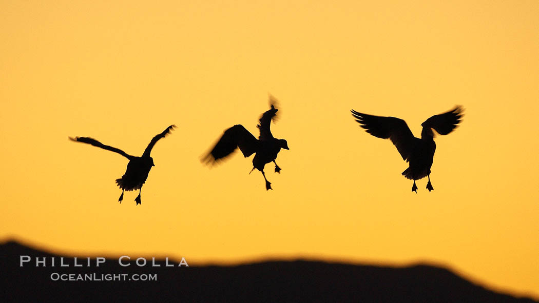 Snow geese in flight, at sunrise with rich early morning sky colors. Bosque del Apache National Wildlife Refuge, Socorro, New Mexico, USA, Chen caerulescens, natural history stock photograph, photo id 21835