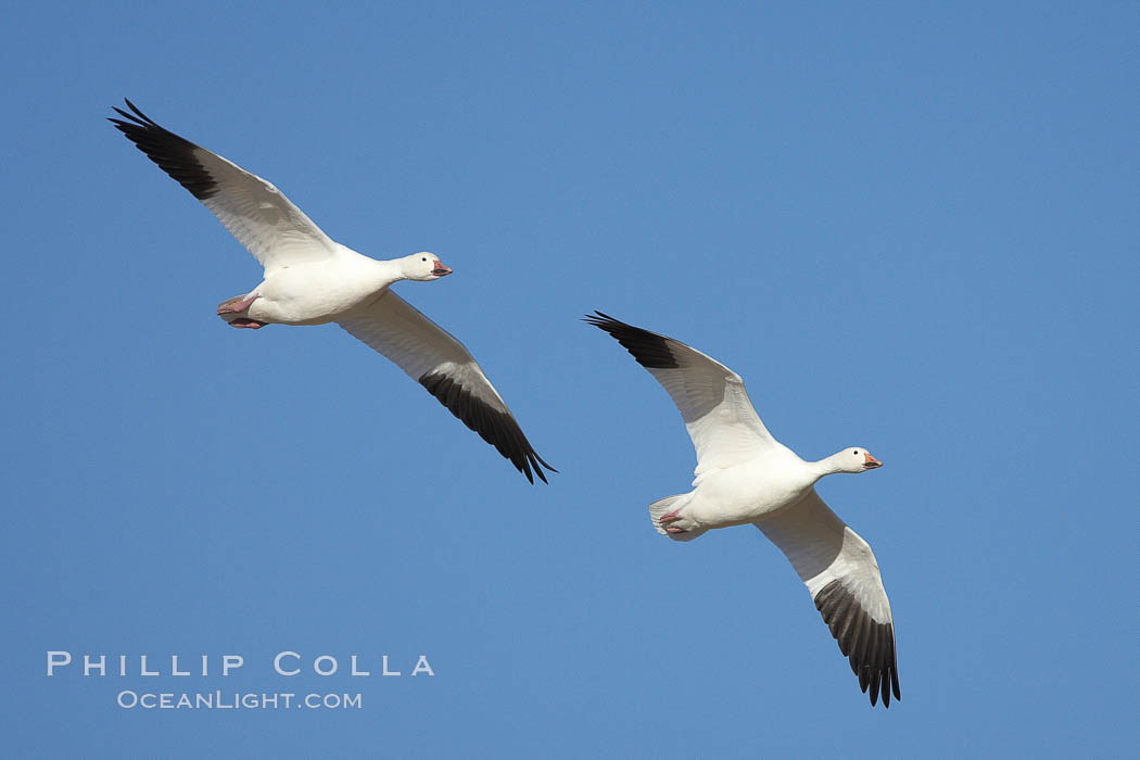 Snow geese in flight. Bosque del Apache National Wildlife Refuge, Socorro, New Mexico, USA, Chen caerulescens, natural history stock photograph, photo id 21987