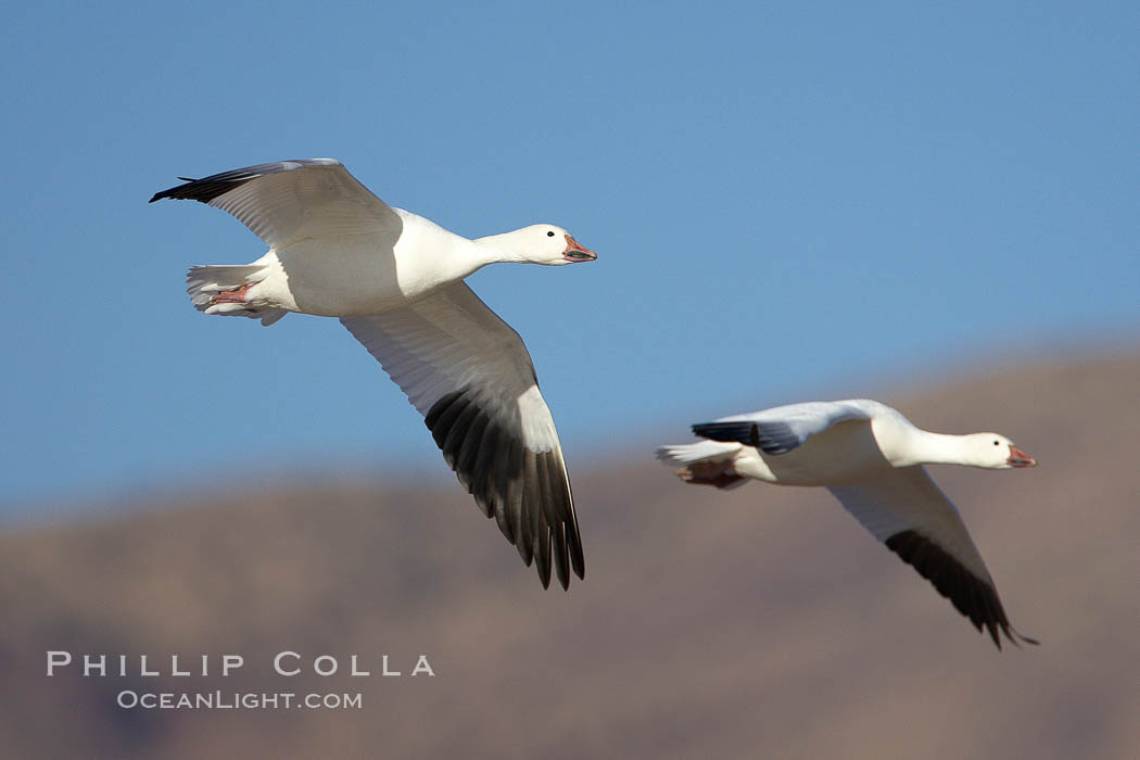 Snow geese in flight. Bosque del Apache National Wildlife Refuge, Socorro, New Mexico, USA, Chen caerulescens, natural history stock photograph, photo id 22065