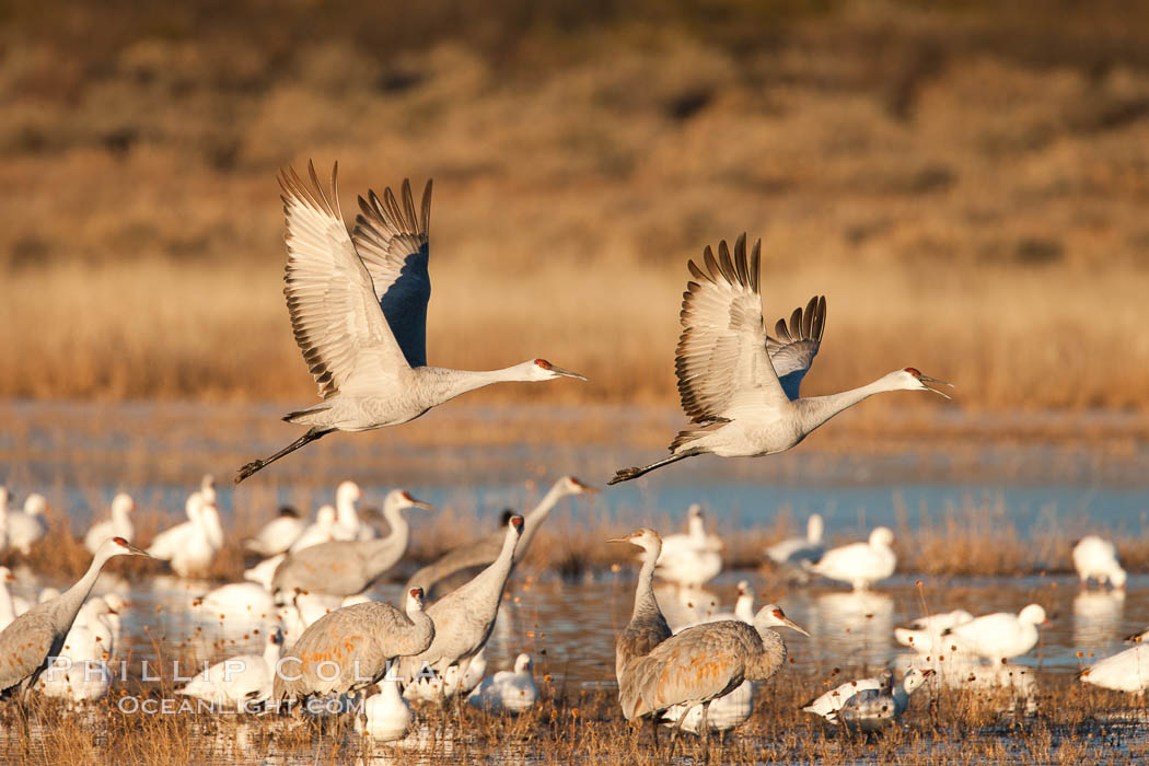 Snow geese and sandhill cranes. Bosque Del Apache, Socorro, New Mexico, USA, Chen caerulescens, Grus canadensis, natural history stock photograph, photo id 26221