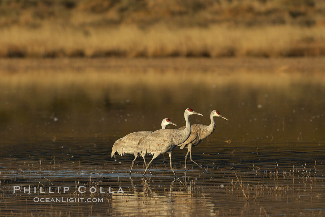 Sandhill cranes. Bosque del Apache National Wildlife Refuge, Socorro, New Mexico, USA, Chen caerulescens, natural history stock photograph, photo id 21946