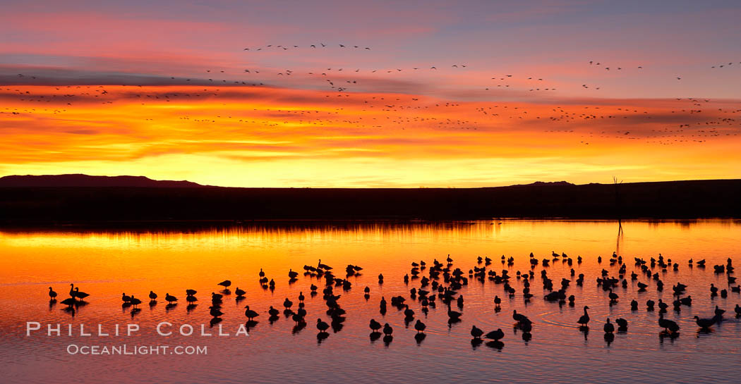 Snow geese at dawn.  Snow geese rest beneath richly colored predawn skies on the main impoundment pond at Bosque del Apache National Wildlife Refuge.  They will lift off by the thousands at sunrise. Bosque del Apache National Wildlife Refuge, Socorro, New Mexico, USA, Chen caerulescens, natural history stock photograph, photo id 21908