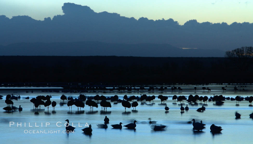 Snow geese, resting on the calm water of the main empoundment at Bosque del Apache NWR in predawn light. Bosque del Apache National Wildlife Refuge, Socorro, New Mexico, USA, Chen caerulescens, natural history stock photograph, photo id 21924