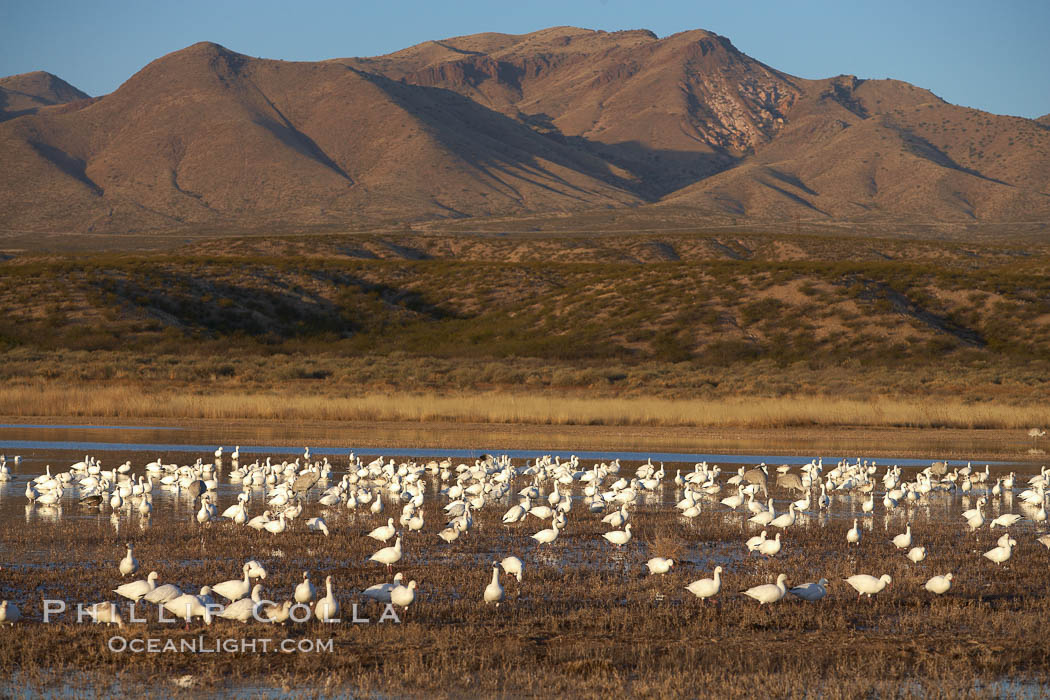 Snow geese gather to rest and preen. Bosque del Apache National Wildlife Refuge, Socorro, New Mexico, USA, Chen caerulescens, natural history stock photograph, photo id 21883