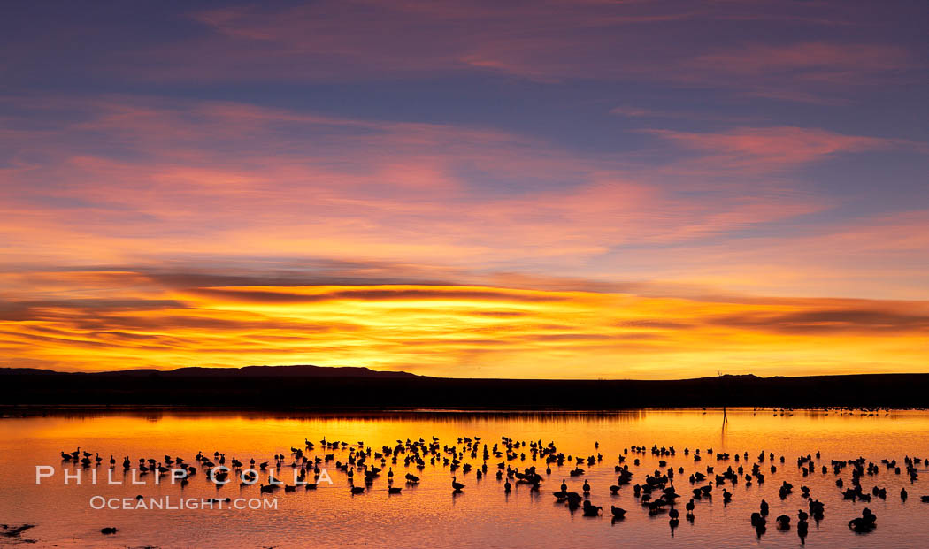 Snow geese at dawn.  Snow geese rest beneath richly colored predawn skies on the main impoundment pond at Bosque del Apache National Wildlife Refuge.  They will lift off by the thousands at sunrise. Bosque del Apache National Wildlife Refuge, Socorro, New Mexico, USA, Chen caerulescens, natural history stock photograph, photo id 21911