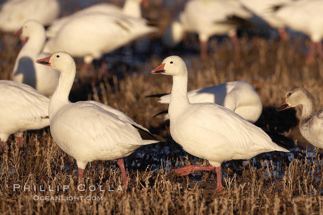 Snow geese. Bosque del Apache National Wildlife Refuge, Socorro, New Mexico, USA, Chen caerulescens, natural history stock photograph, photo id 21947