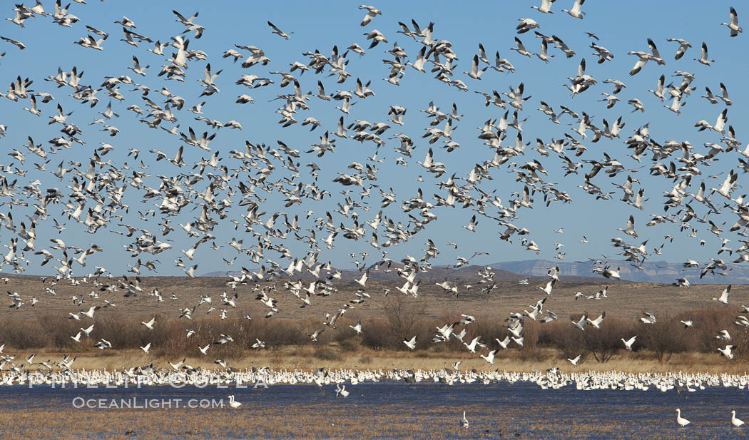 Snow geese lift off by the thousands, taking flight over Bosque del Apache NWR. Bosque del Apache National Wildlife Refuge, Socorro, New Mexico, USA, Chen caerulescens, natural history stock photograph, photo id 21941