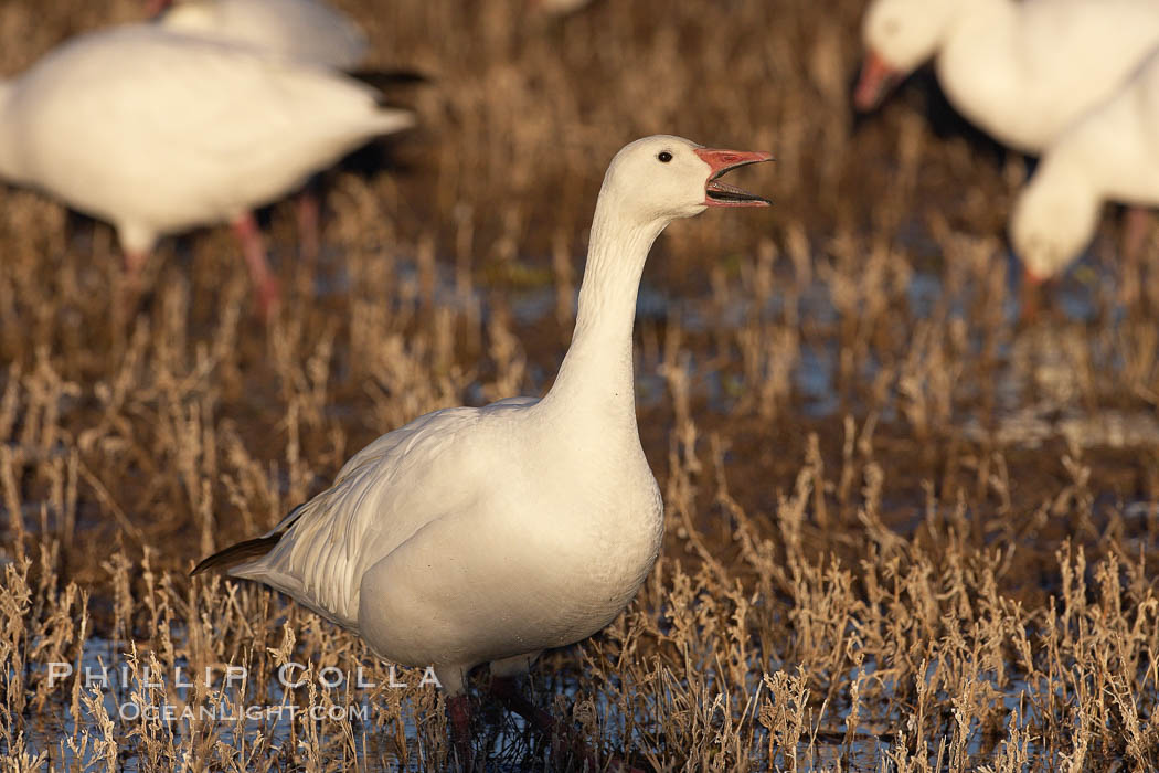 Snow goose standing in marsh grass. Bosque del Apache National Wildlife Refuge, Socorro, New Mexico, USA, Chen caerulescens, natural history stock photograph, photo id 21945