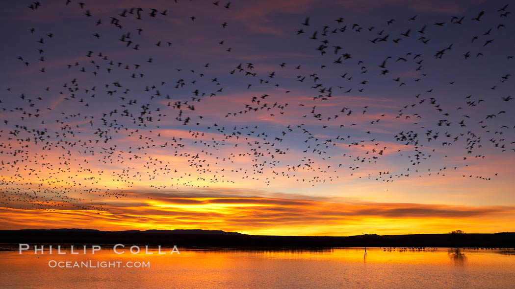 "Snow geese at dawn.  Snow geese often ""blast off"" just before or after dawn, leaving the ponds where they rest for the night to forage elsewhere during the day. Bosque del Apache National Wildlife Refuge, Socorro, New Mexico, USA, Chen caerulescens, natural history stock photograph, photo id 22021"