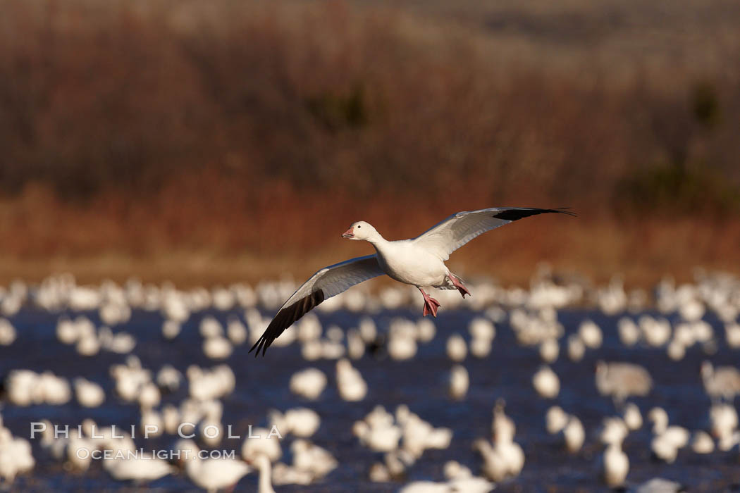 Snow goose in flight, slowing before landing to join a flock of snow geese resting on a pond. Bosque del Apache National Wildlife Refuge, Socorro, New Mexico, USA, Chen caerulescens, natural history stock photograph, photo id 22002