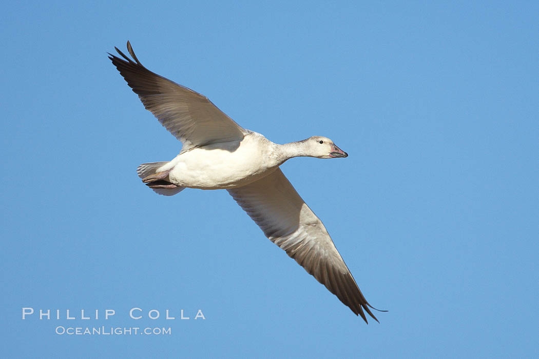 Snow goose in flight. Bosque del Apache National Wildlife Refuge, Socorro, New Mexico, USA, Chen caerulescens, natural history stock photograph, photo id 22046
