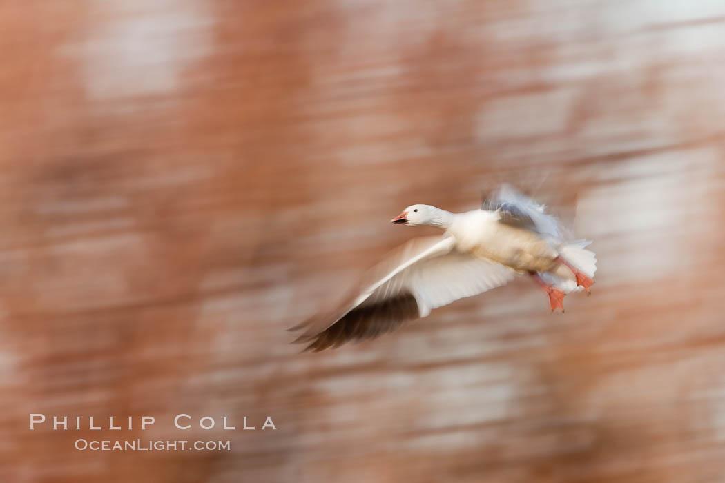 Snow goose in flight. Bosque Del Apache, Socorro, New Mexico, USA, Chen caerulescens, natural history stock photograph, photo id 26228