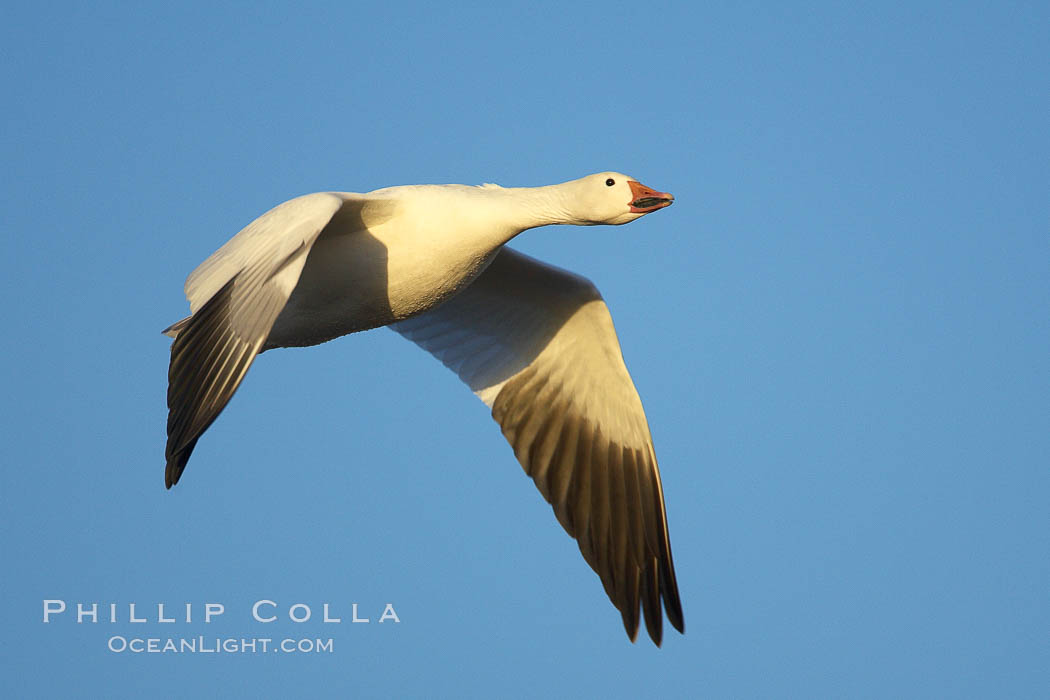 Snow goose in flight.  Tens of thousands of snow geese stop in Bosque del Apache NWR each winter during their migration. Bosque del Apache National Wildlife Refuge, Socorro, New Mexico, USA, Chen caerulescens, natural history stock photograph, photo id 21929