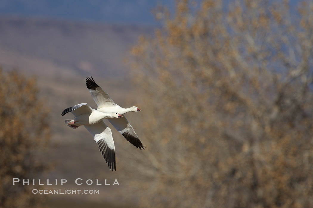 Snow goose in flight. Bosque del Apache National Wildlife Refuge, Socorro, New Mexico, USA, Chen caerulescens, natural history stock photograph, photo id 21933