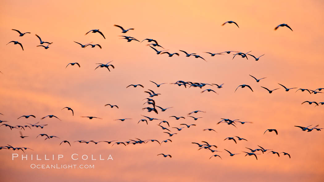 Image 26418, Flocks of geese at sunrise, in flight. Bosque del Apache National Wildlife Refuge, Socorro, New Mexico, USA, Chen caerulescens, Phillip Colla, all rights reserved worldwide. Keywords: anatidae, animal, animalia, anseriformes, aves, bird, bosque del apache, bosque del apache national wildlife refuge, bosque del apache nwr, caerulescens, chen, chen caerulescens, chordata, creature, goose, national wildlife refuges, nature, new mexico, snow geese, snow goose, socorro, usa, vertebrata, vertebrate, wildlife.