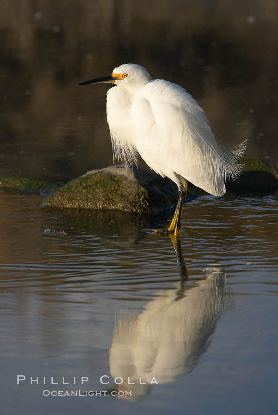Snowy egret. Upper Newport Bay Ecological Reserve, Newport Beach, California, USA, Egretta thula, natural history stock photograph, photo id 15670