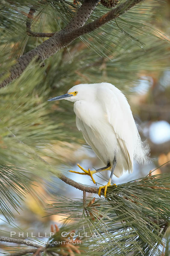 Snowy egret in pine tree. Oceanside Harbor, Oceanside, California, USA, Egretta thula, natural history stock photograph, photo id 18426
