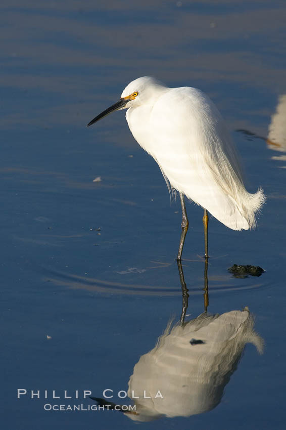 Snowy egret. Upper Newport Bay Ecological Reserve, Newport Beach, California, USA, Egretta thula, natural history stock photograph, photo id 15667