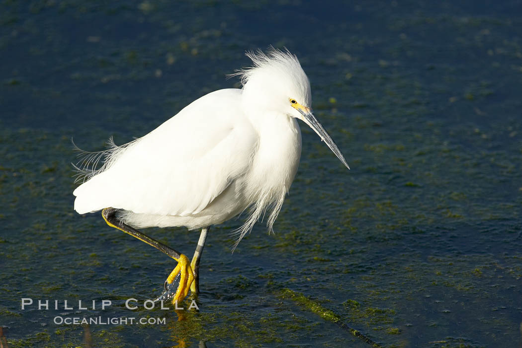 Snowy egret. Bolsa Chica State Ecological Reserve, Huntington Beach, California, USA, Egretta thula, natural history stock photograph, photo id 19903