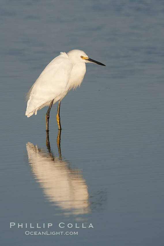 Snowy egret wading, foraging for small fish in shallow water. San Diego Bay National Wildlife Refuge, San Diego, California, USA, Egretta thula, natural history stock photograph, photo id 17454