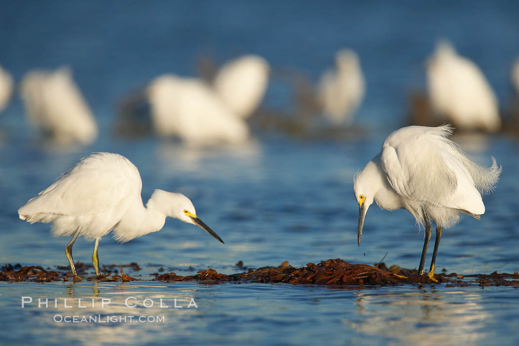 Snowy egrets foraging in drifting patch of kelp. San Diego River, California, USA, Egretta thula, natural history stock photograph, photo id 18416