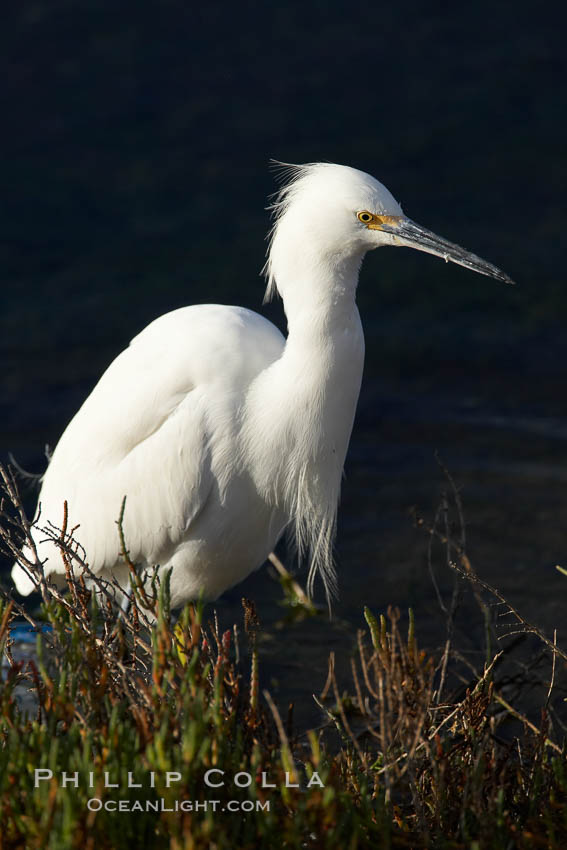 Snowy egret. Bolsa Chica State Ecological Reserve, Huntington Beach, California, USA, Egretta thula, natural history stock photograph, photo id 19905