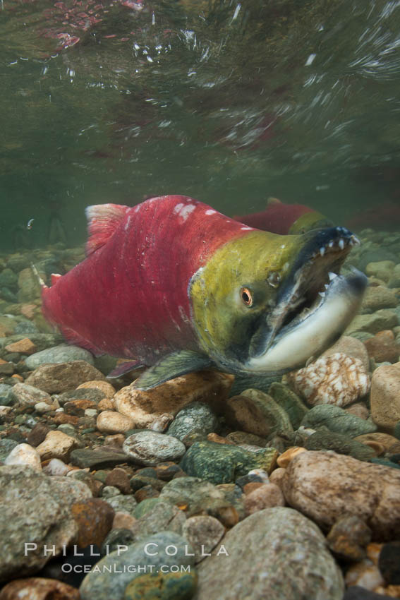 A male sockeye salmon, showing injuries sustained as it migrated hundreds of miles from the ocean up the Fraser River, swims upstream in the Adams River to reach the place where it will fertilize eggs laid by a female in the rocks.  It will die so after spawning. Adams River, Roderick Haig-Brown Provincial Park, British Columbia, Canada, Oncorhynchus nerka, natural history stock photograph, photo id 26166