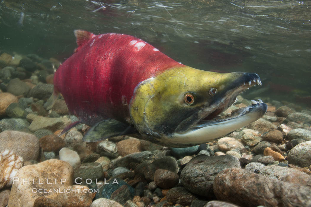 A male sockeye salmon, showing injuries sustained as it migrated hundreds of miles from the ocean up the Fraser River, swims upstream in the Adams River to reach the place where it will fertilize eggs laid by a female in the rocks.  It will die so after spawning. Adams River, Roderick Haig-Brown Provincial Park, British Columbia, Canada, Oncorhynchus nerka, natural history stock photograph, photo id 26171