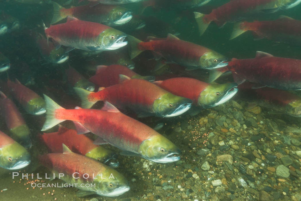 A school of sockeye salmon, swimming up the Adams River to spawn, where they will lay eggs and die. Adams River, Roderick Haig-Brown Provincial Park, British Columbia, Canada, Oncorhynchus nerka, natural history stock photograph, photo id 26164