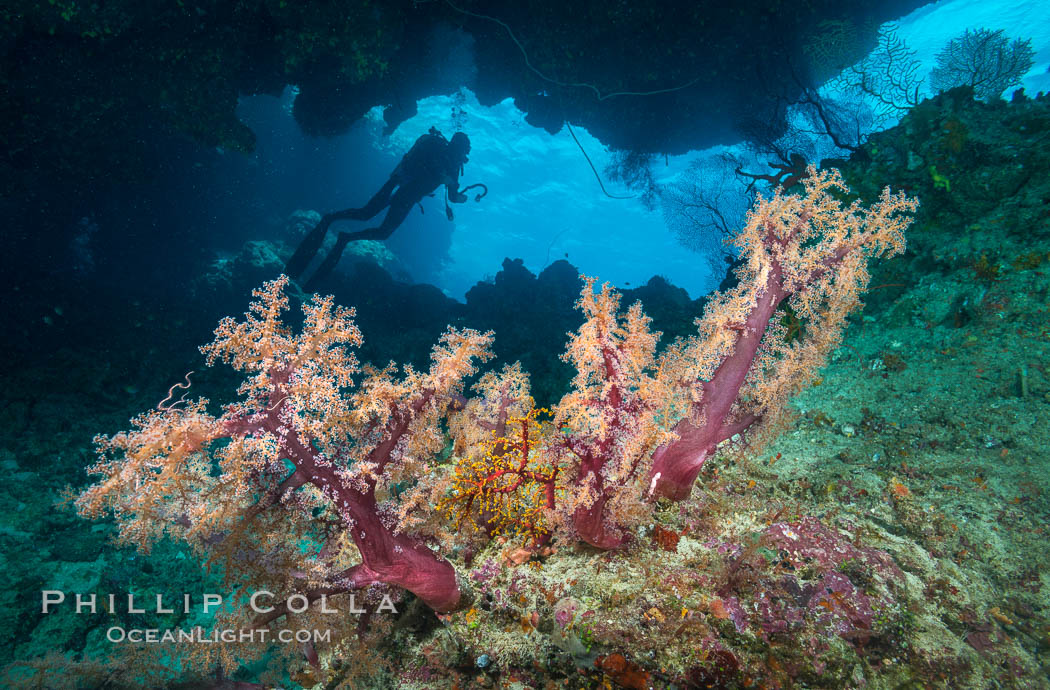 Soft Corals and Diver in Cavern, Fiji. Vatu I Ra Passage, Bligh Waters, Viti Levu  Island, Fiji, Dendronephthya, natural history stock photograph, photo id 31372