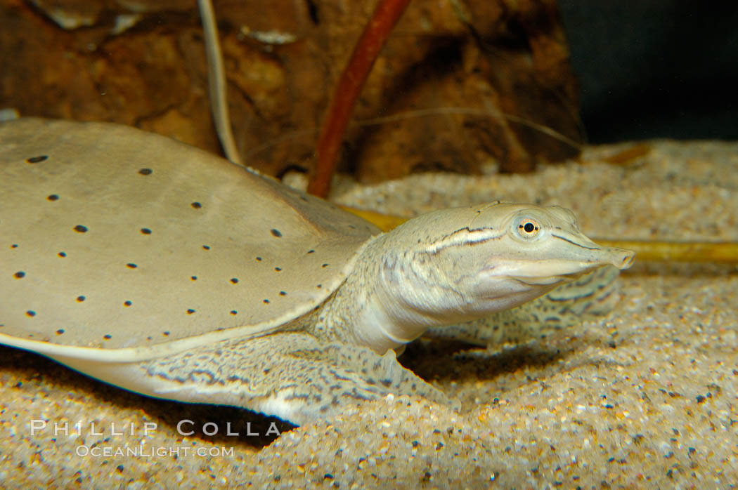 Softshell turtle., Apalone spinifera, natural history stock photograph, photo id 09808